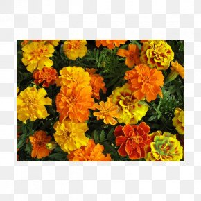 Flower - Mexican Marigold Seed Flower Garden Annual Plant PNG