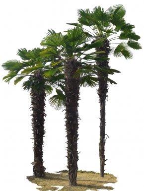 Tree - Asian Palmyra Palm Tree Green PNG