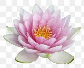 Lotus Image - Nelumbo Nucifera Egyptian Lotus Clip Art PNG