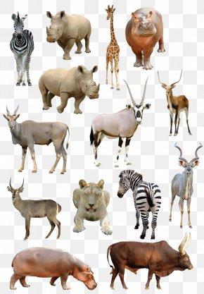 Animal - Giraffe Antelope Common Eland Gemsbok Stock Photography PNG