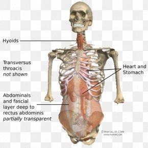 Abdomen Anatomy - Shoulder Homo Sapiens Skeleton Figurine Hip PNG