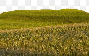 Big Farm Wheat Field - Bliss Wheat Wallpaper PNG