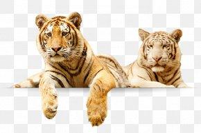 Zoo Playful - Tiger Lion Elmvale Jungle Zoo Animal Elmvale, Ontario PNG