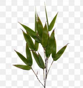 Bamboo Leaf Image - Bamboo Henon Phyllostachys Edulis Flower Culm PNG