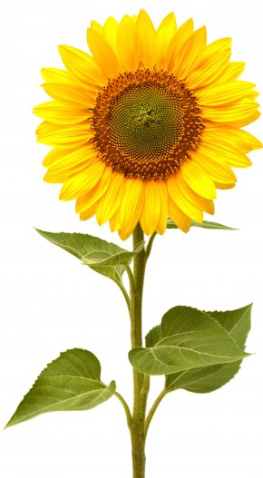 Sunflower - Common Sunflower Life Cycle Of A Sunflower This Is The Sunflower Sunflower Seed PNG