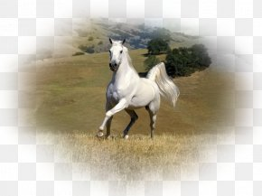 Rare Animals - Arabian Horse Stallion Andalusian Horse Gypsy Horse White PNG