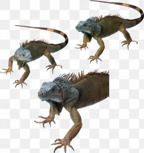Lizard - Common Iguanas Dragon Lizards Reptile Chameleons PNG