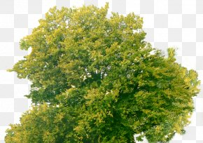 Top Tree Download Images Free - Tree KFC Biscuits PNG