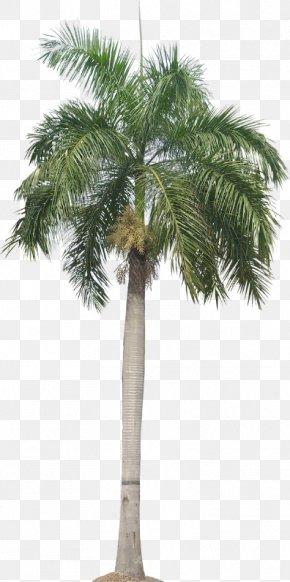 Tree - Roystonea Regia Arecaceae Tree Queen Palm PNG