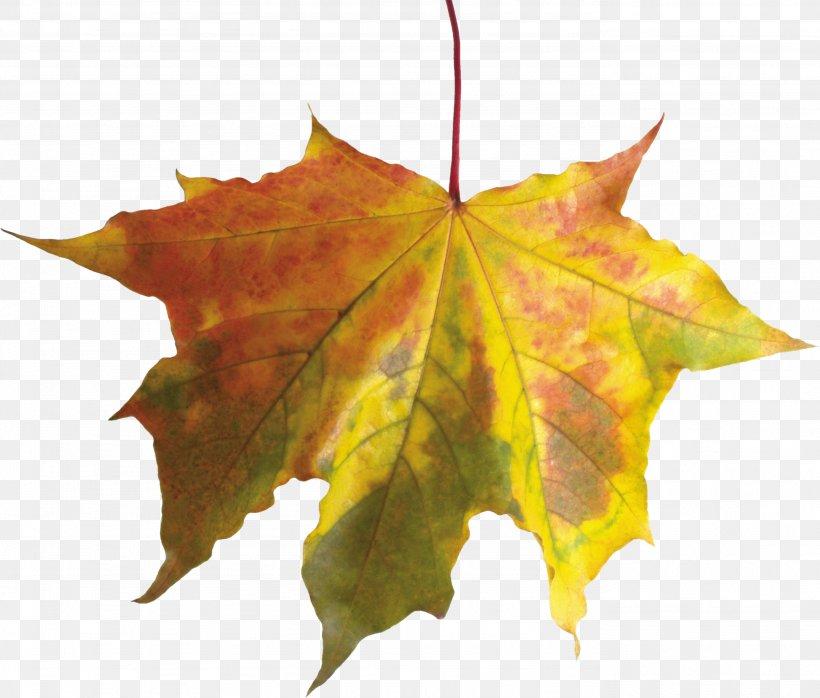 Autumn Leaf Color, PNG, 2766x2356px, Autumn Leaf Color, Autumn, Leaf, Maple Leaf, Maple Tree Download Free
