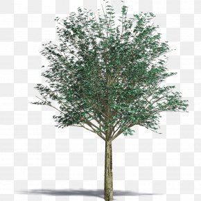 Tree - Architecture Birch Tree PNG