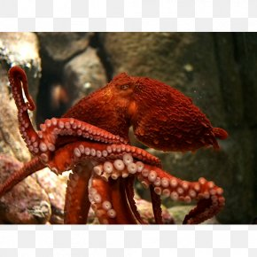 Biggest Giant Pacific Octopus - Giant Pacific Octopus Greater Blue-ringed Octopus Female Cephalopod PNG