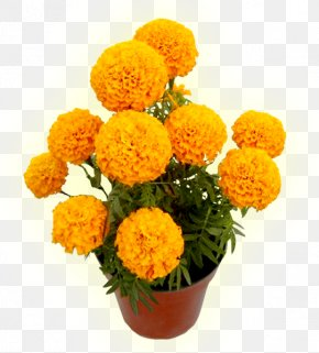 Flor - Mexican Marigold Flower Cadaver Seed Calendula Officinalis PNG