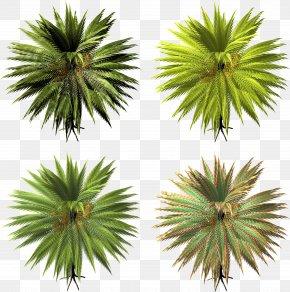 Palm - Arecaceae Asian Palmyra Palm Tree Date Palm PNG