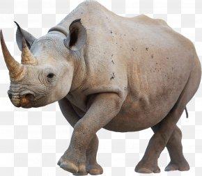 Rhino - Lewa Wildlife Conservancy Javan Rhinoceros Black Rhinoceros Poaching PNG
