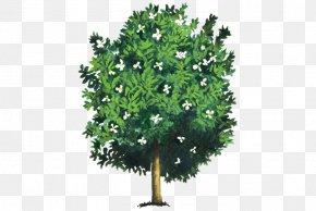 Magnolia - Southern Magnolia Magnolia Dealbata Tree Evergreen Woody Plant PNG