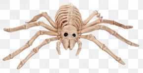 Mouseover - Spider Human Skeleton Bone Vertebrate PNG
