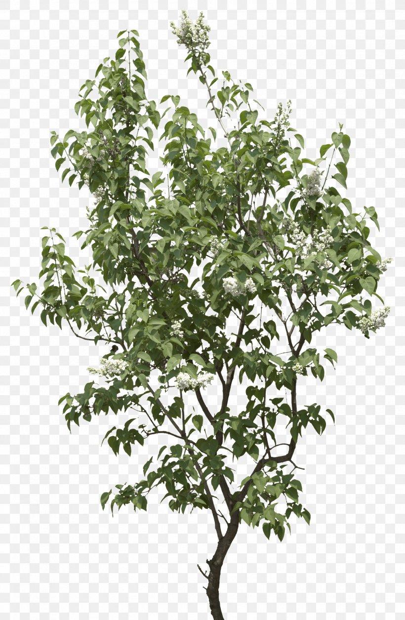 Tree Shrub Clip Art, PNG, 1829x2800px, Populus Nigra, Branch, Cottonwood, Display Resolution, Evergreen Download Free
