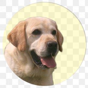 Labrador Dog - Labrador Retriever Golden Retriever Puppy Dog Breed Companion Dog PNG