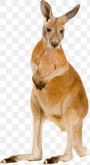 Kangaroo - Red Kangaroo Eastern Grey Kangaroo Macropodidae Stock Photography PNG