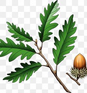 Acorn - Southern Live Oak Quercus Coccinea Quercus Cerris Illustration PNG