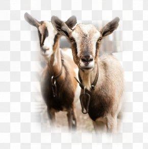 Goat - Spanish Goat Sheep Cattle Goat Milk PNG