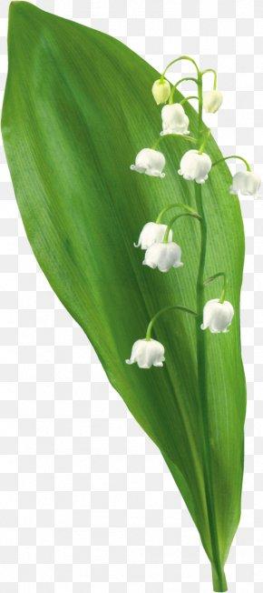 Lily Of The Valley - Lily Of The Valley Lilium Flower Clip Art PNG
