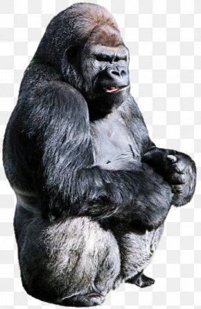 Temple Common Chimpanzee - Gorilla Cartoon PNG