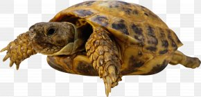 Turtle - Turtle Chaco Tortoise PNG