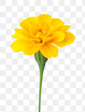 Marigolds Are Available For Free Download - Mexican Marigold Flower Calendula Officinalis Dahlia PNG
