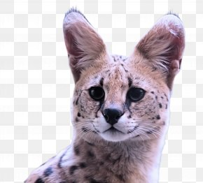 Cheetah Terrestrial Animal - Small To Medium-sized Cats Wildlife Cat Whiskers Terrestrial Animal PNG