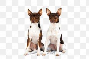 Terrier - Dog Breed Miniature Fox Terrier Toy Fox Terrier Rat Terrier Tenterfield Terrier PNG