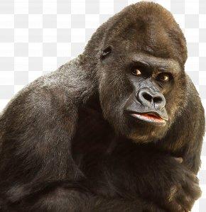Gorilla - Western Gorilla Ape Primate Chimpanzee PNG