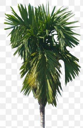 Tree - Areca Palm Arecaceae Areca Nut Tree Catechu PNG