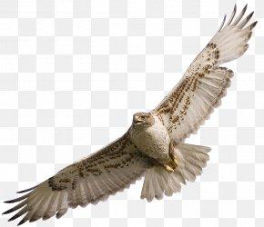 Falcon - Hawk Bird Clip Art PNG