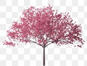 Cherry Tree Branch - Cherry Blossom Tree Branch PNG