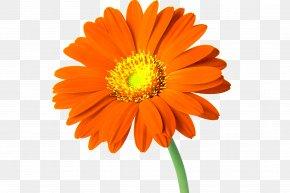 Gerbera - Cut Flowers Common Daisy Clip Art PNG