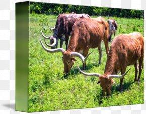 Longhorn - Texas Longhorn English Longhorn Grazing Pasture Ox PNG