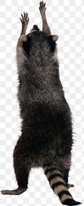Raccoon - Raccoon Squirrel PNG