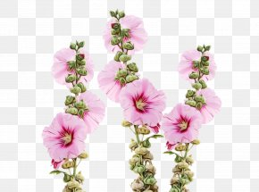 Herbaceous Plant Verbascum - Family Tree Drawing PNG