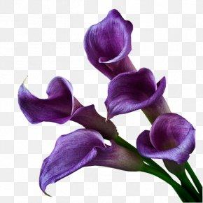 Purple - Arum-lily Purple Violet Cut Flowers PNG
