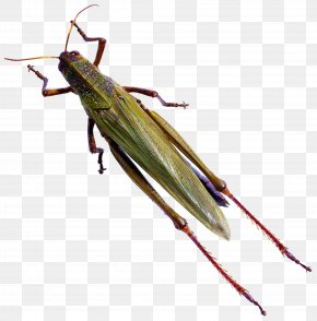 Mantis Bug - Insect Caelifera Butterfly Locust Reptile PNG