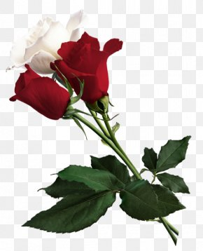 White And Red Roses Picture - White Rose Of York Flower Red White Rose Of York PNG