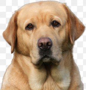 Litter - Labrador Retriever Golden Retriever Puppy Broholmer Dog Breed PNG