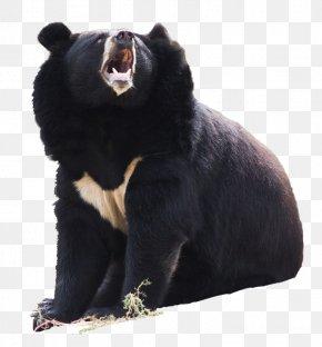 Asian Black Bear - American Black Bear Polar Bear Asian Black Bear Brown Bear Himalayan Black Bear PNG