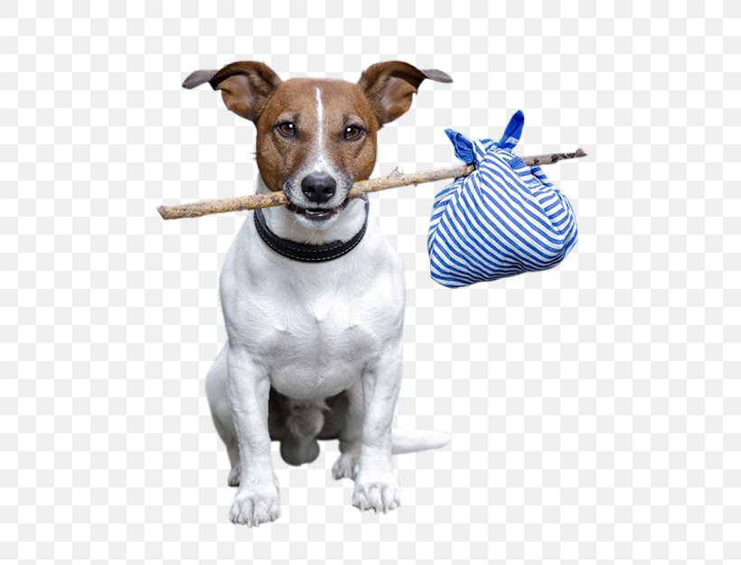 Jack Rus Terrier Rat Dog