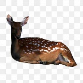 Deer - Deer Fauna Wildlife Tail Terrestrial Animal PNG