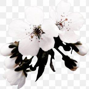 Tokyo Sakura - Apples Flower Blossom PNG