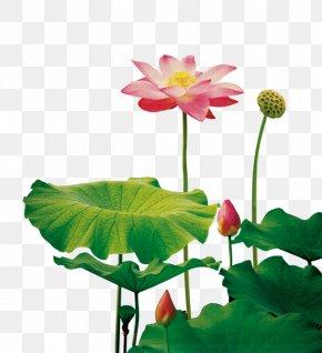 Lotus Lotus Lotus Seeds - Nelumbo Nucifera Plant Fundal PNG