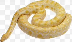 Snake Image Picture Download Free - Snake Ball Python Reticulated Python Leiopython PNG
